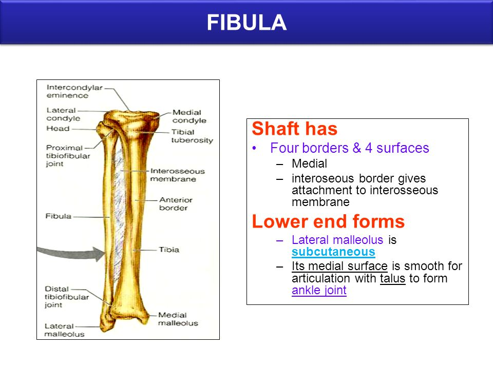 FIBULA Shaft has Lower end forms Four borders & 4 surfaces Medial