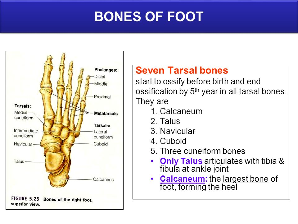 BONES OF FOOT Seven Tarsal bones start to ossify before birth and end