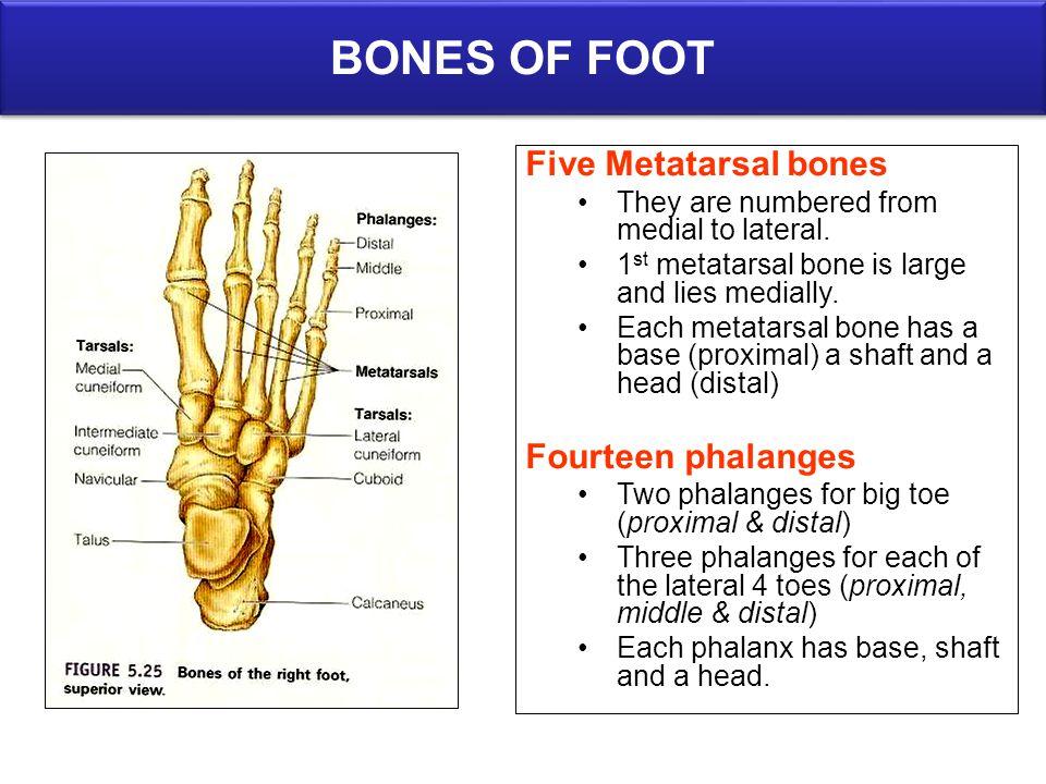 BONES OF FOOT Five Metatarsal bones Fourteen phalanges