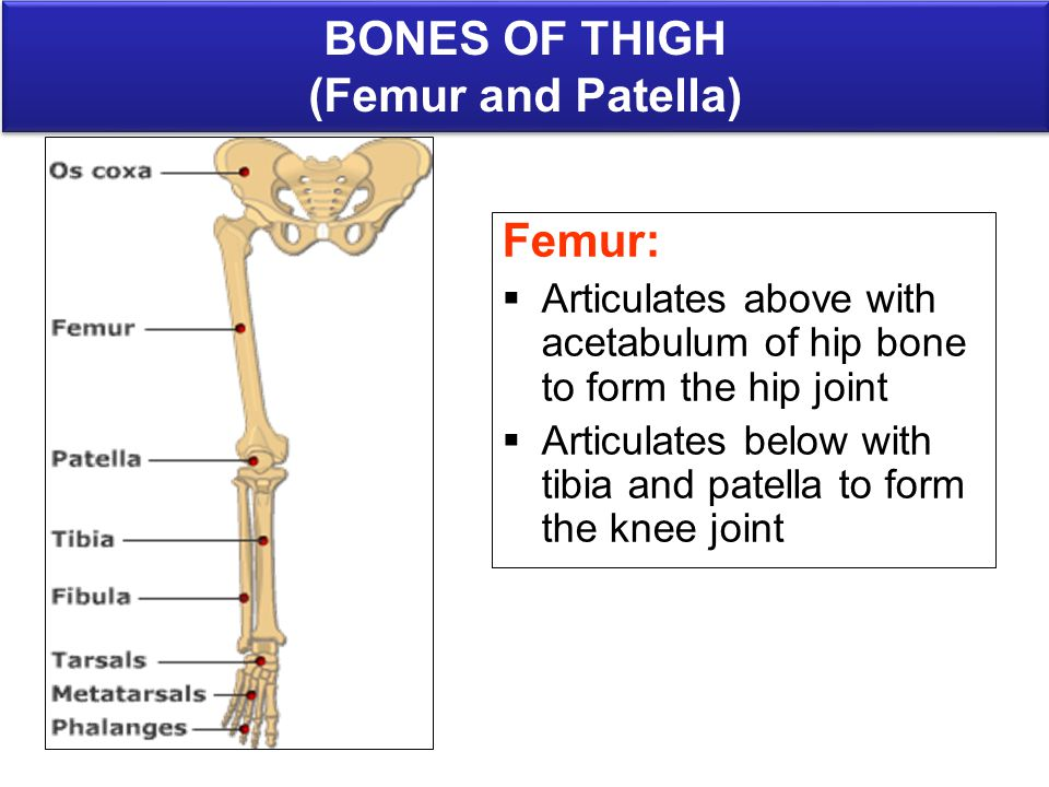 Lower limb bones anatomy