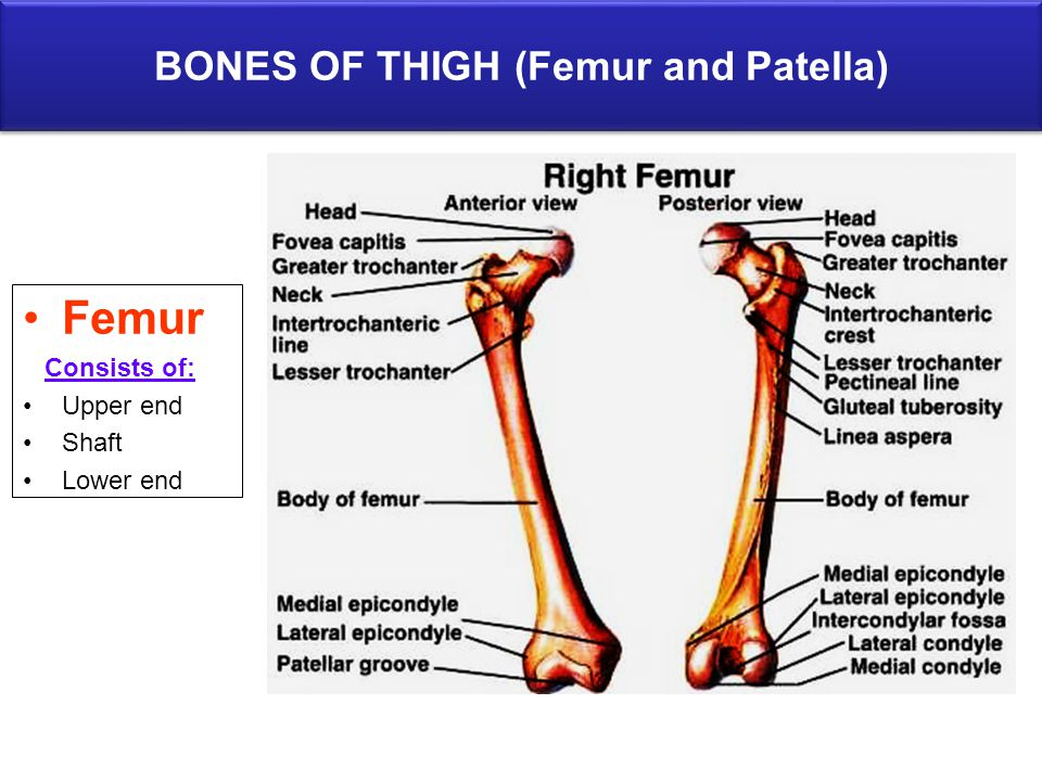 BONES OF THIGH (Femur and Patella)