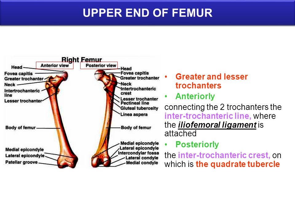 UPPER END OF FEMUR Greater and lesser trochanters Anteriorly