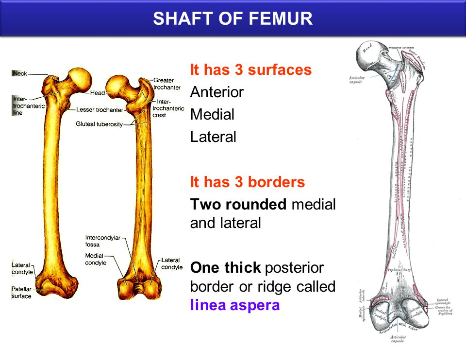 SHAFT OF FEMUR It has 3 surfaces Anterior Medial Lateral