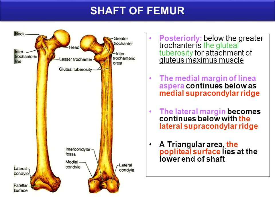SHAFT OF FEMUR Posteriorly: below the greater trochanter is the gluteal tuberosity for attachment of gluteus maximus muscle.