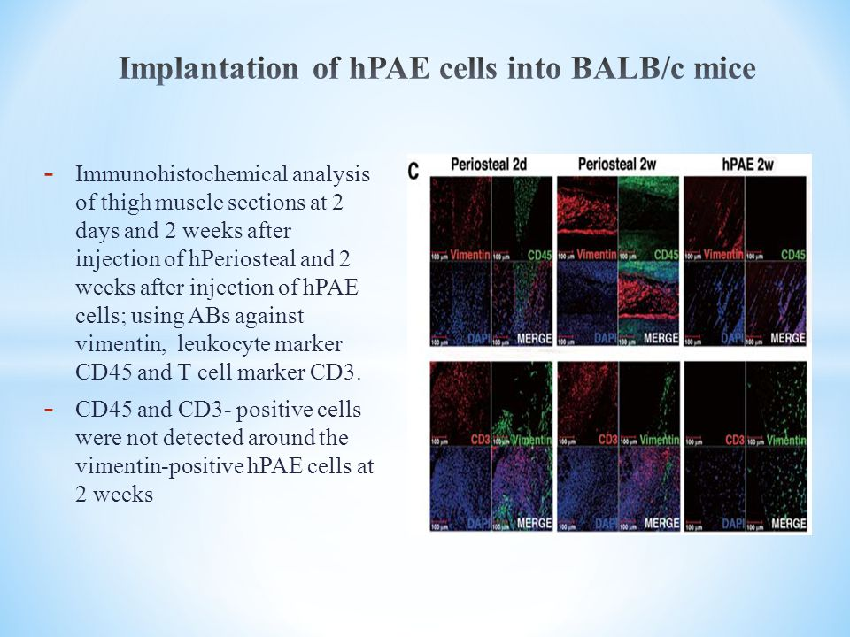 Implantation of hPAE cells into BALB/c mice