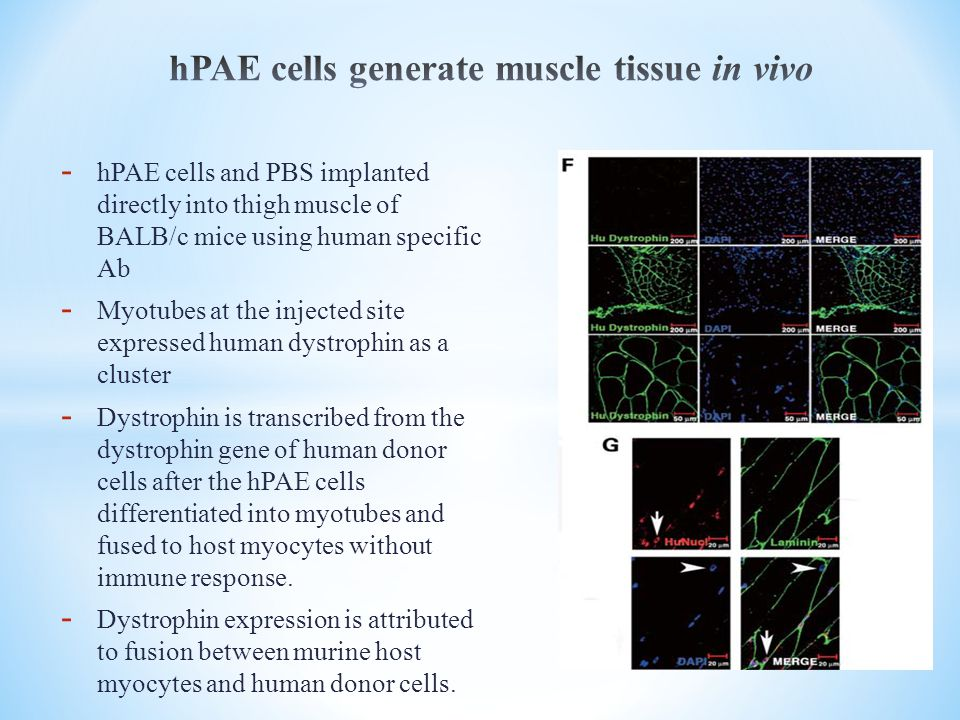 hPAE cells generate muscle tissue in vivo