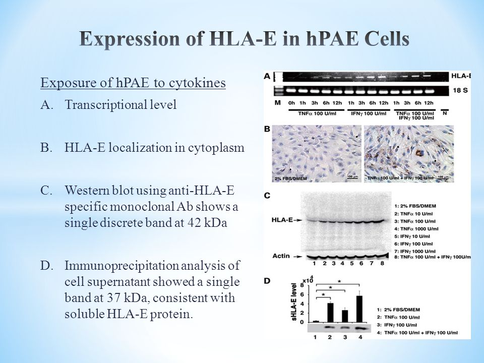 Expression of HLA-E in hPAE Cells