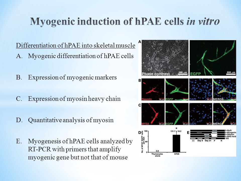 Myogenic induction of hPAE cells in vitro