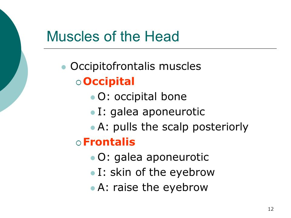 Muscles of the Head Occipitofrontalis muscles Occipital