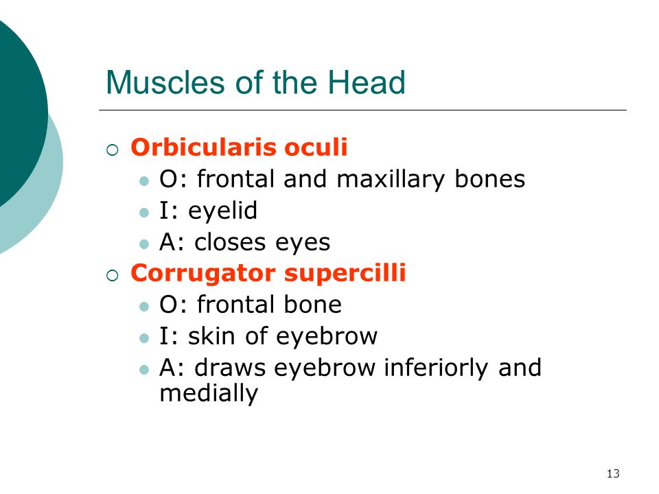 Muscles of the Head Orbicularis oculi O: frontal and maxillary bones