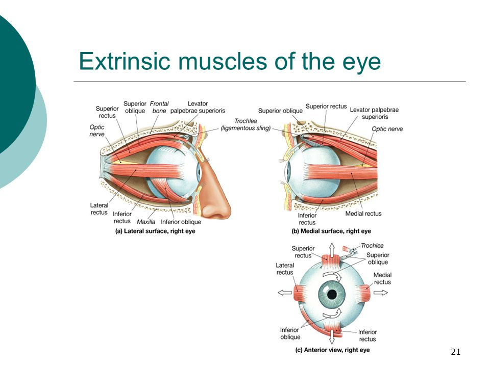 Extrinsic muscles of the eye