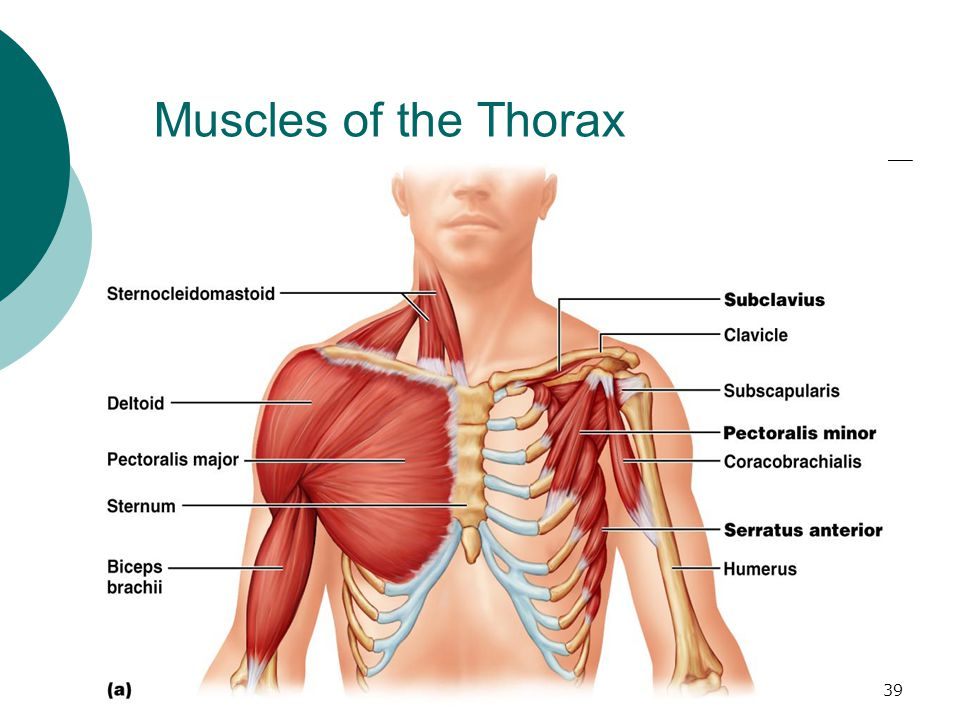 Muscles of the Thorax