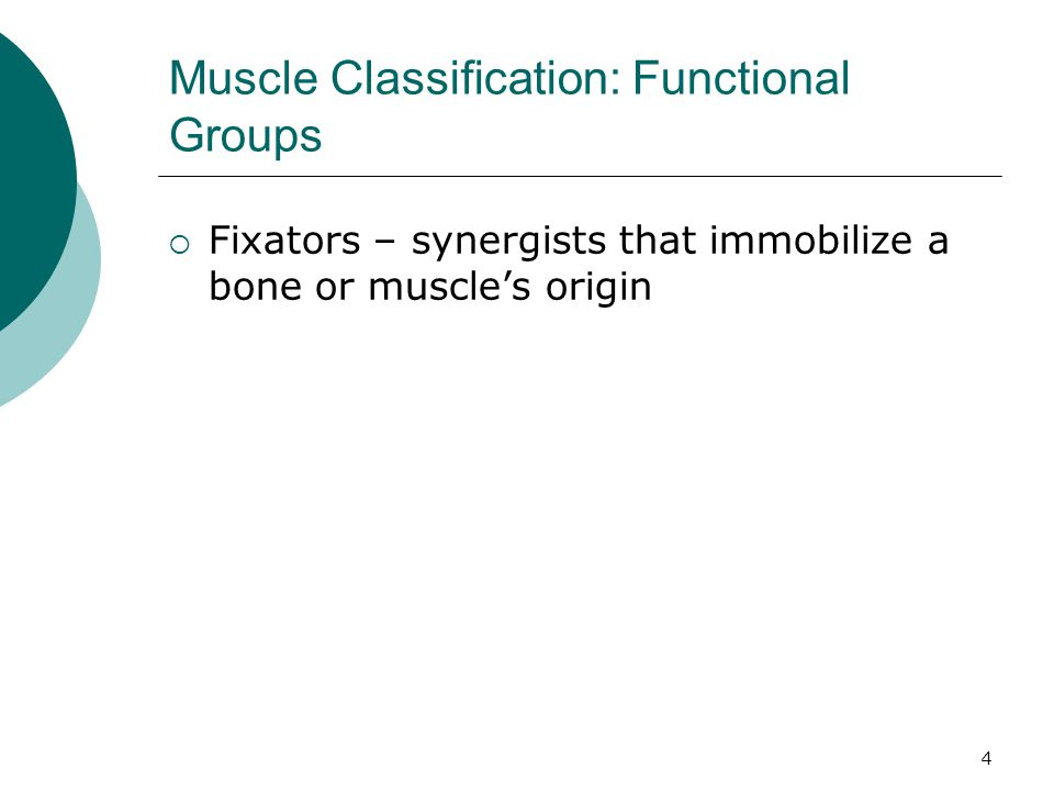 Muscle Classification: Functional Groups
