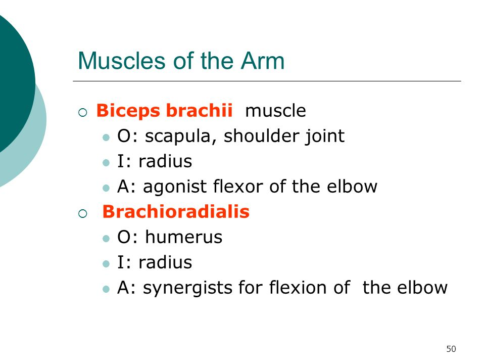 Muscles of the Arm Biceps brachii muscle O: scapula, shoulder joint