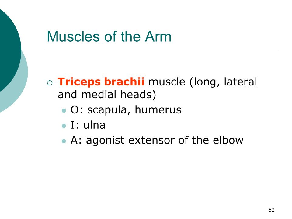 Muscles of the Arm Triceps brachii muscle (long, lateral and medial heads) O: scapula, humerus. I: ulna.