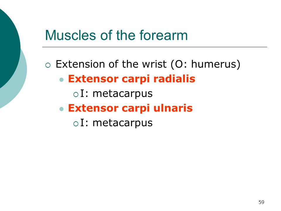 Muscles of the forearm Extension of the wrist (O: humerus)