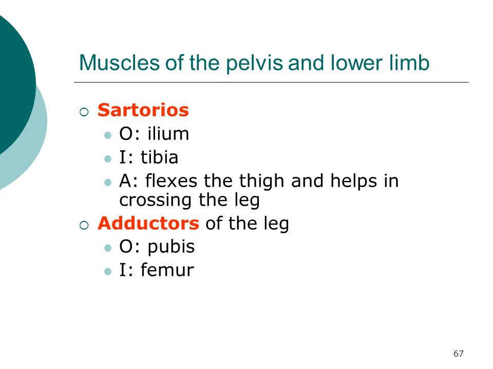 Muscles of the pelvis and lower limb