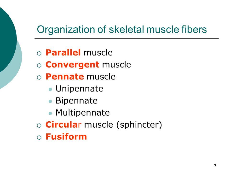 Organization of skeletal muscle fibers