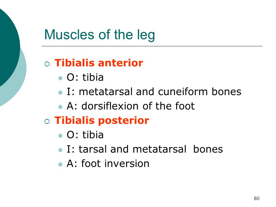 Muscles of the leg Tibialis anterior O: tibia