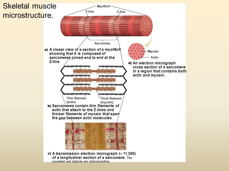 Skeletal muscle microstructure.