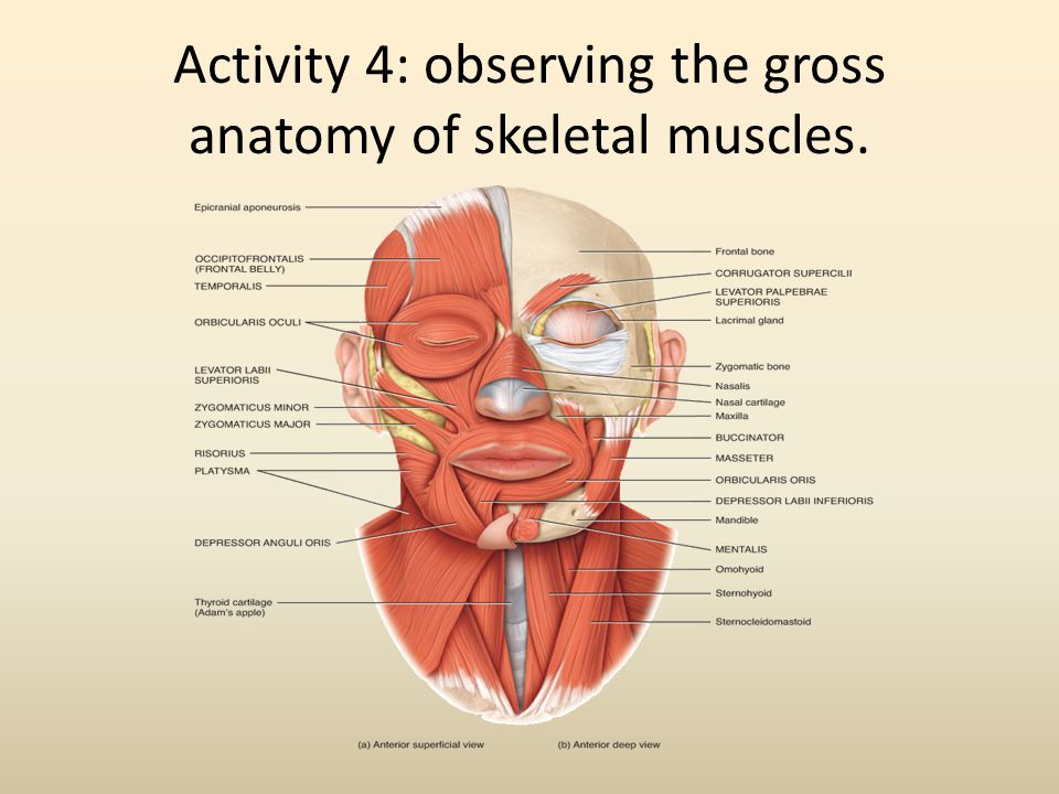 Activity 4: observing the gross anatomy of skeletal muscles.