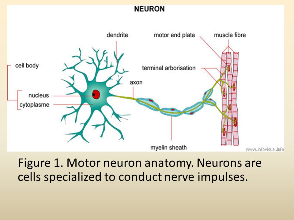 Figure 1. Motor neuron anatomy