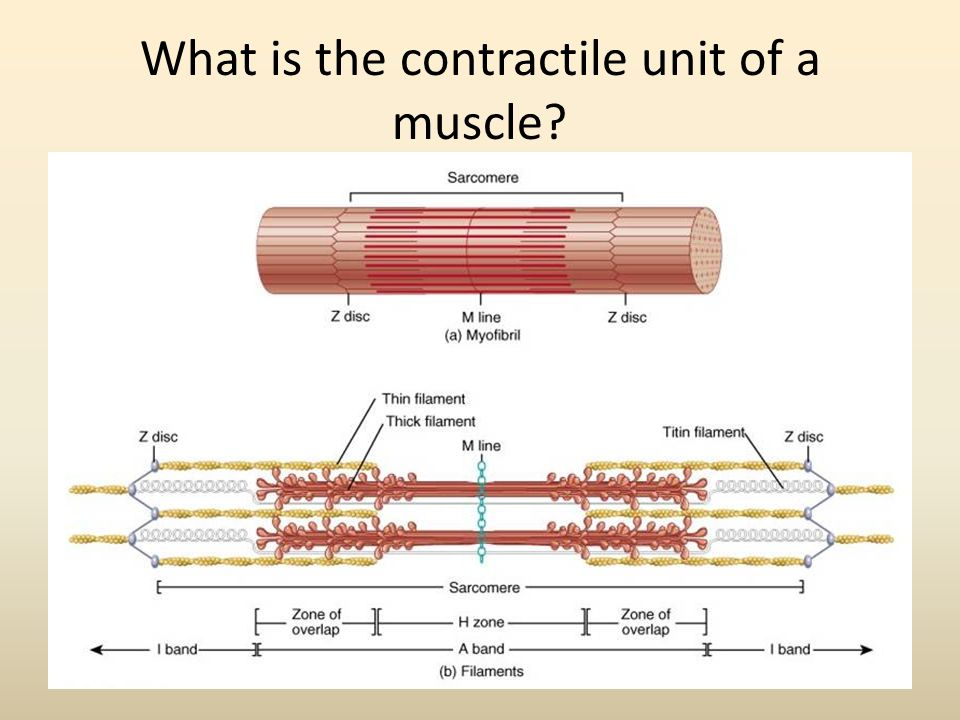What is the contractile unit of a muscle