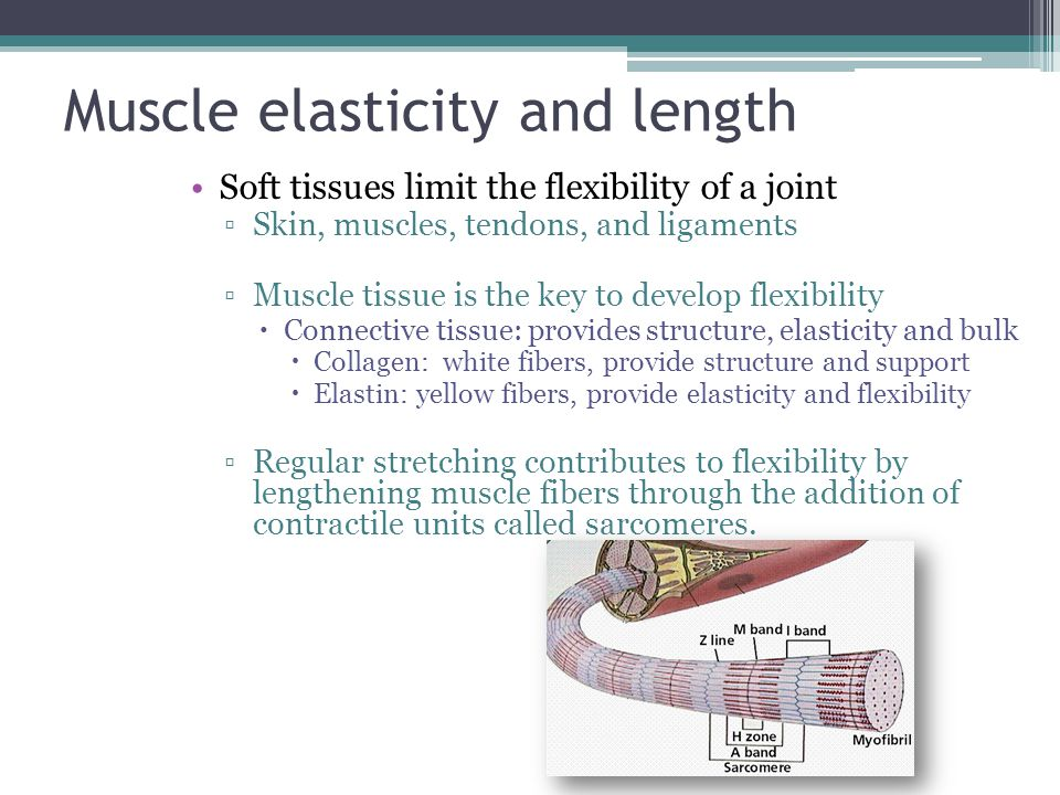 Muscle elasticity and length