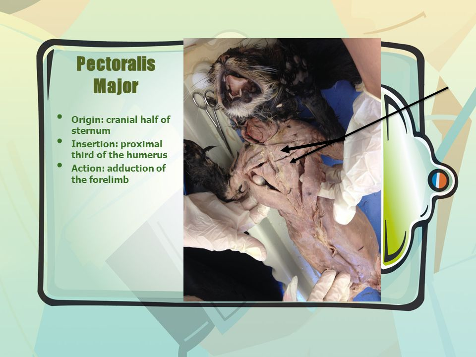 Pectoralis Major Origin: cranial half of sternum