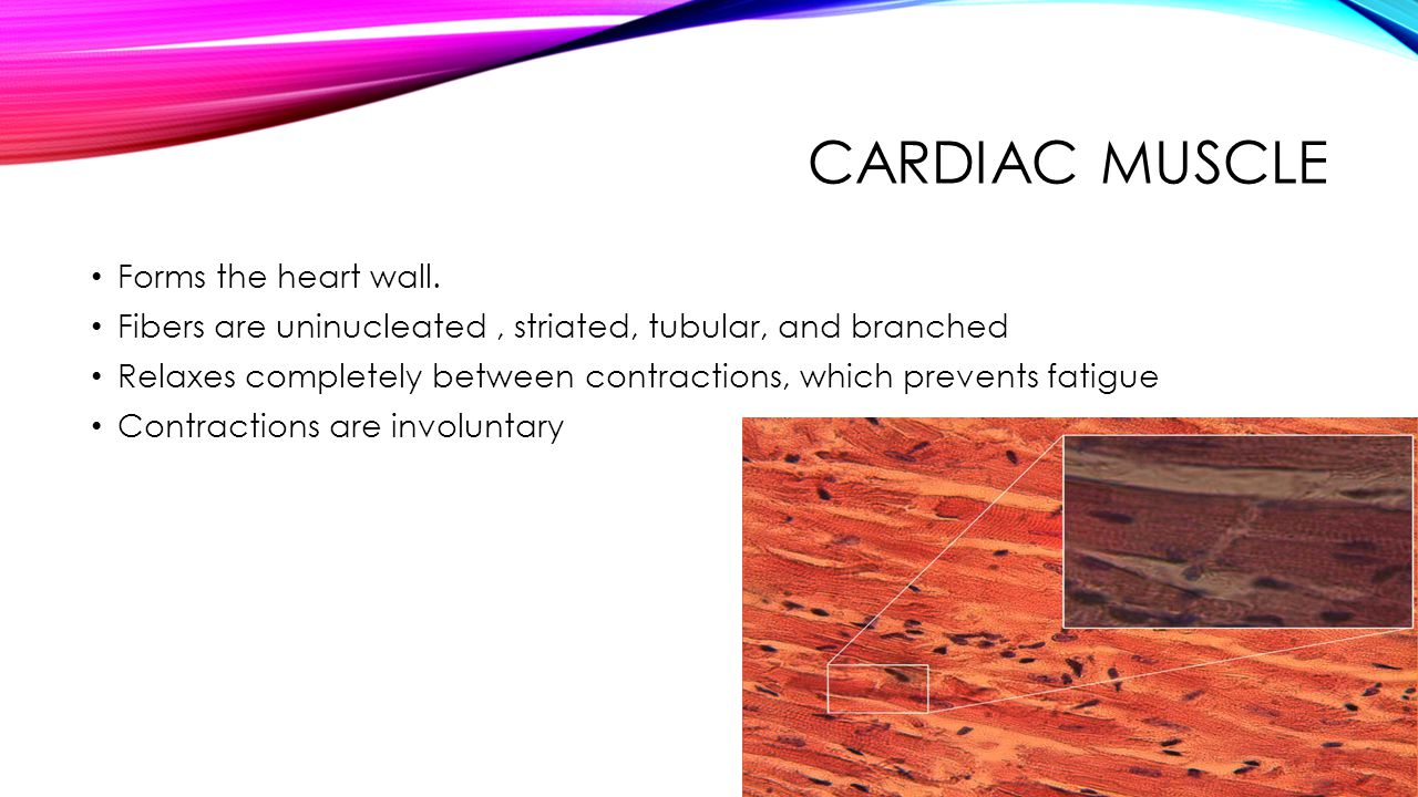 Cardiac Muscle Forms the heart wall.