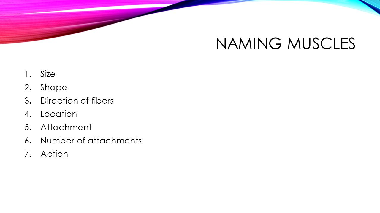 Naming Muscles Size Shape Direction of fibers Location Attachment