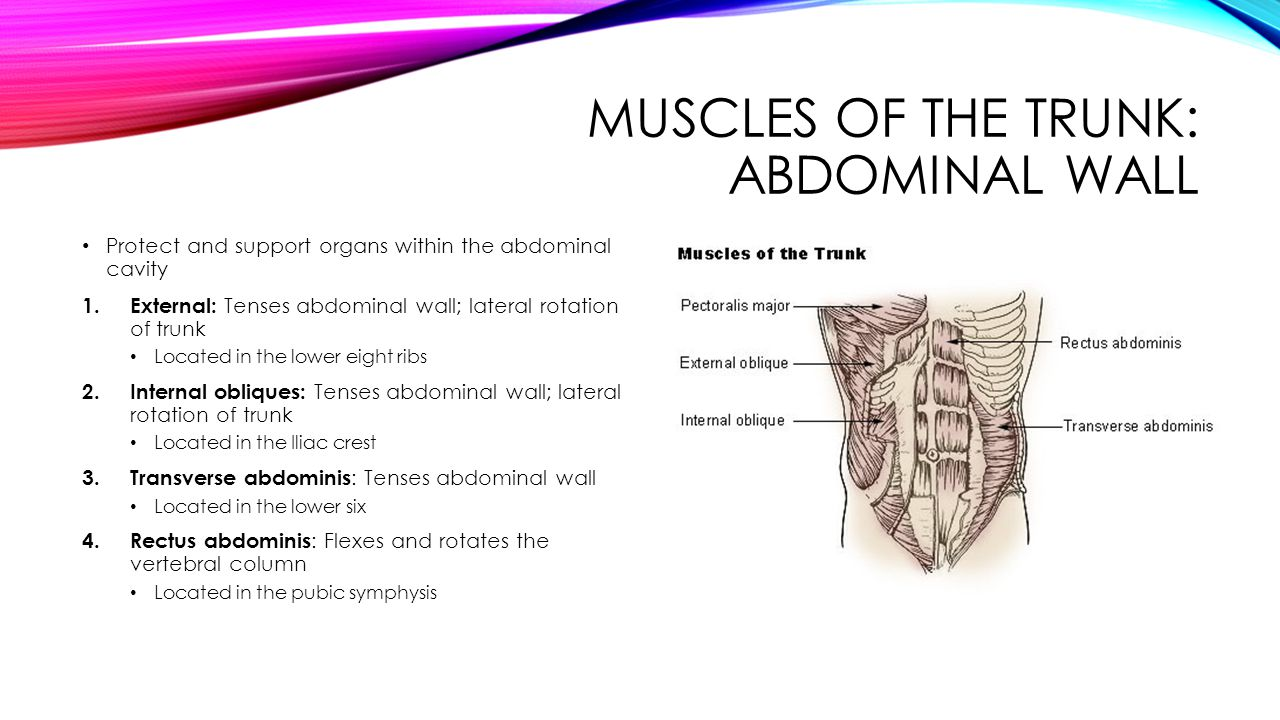 Muscles of the trunk: abdominal wall