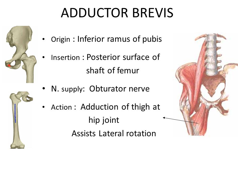 ADDUCTOR BREVIS shaft of femur N. supply: Obturator nerve hip joint