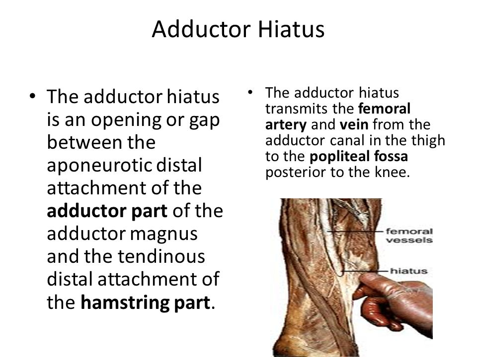 Adductor Hiatus