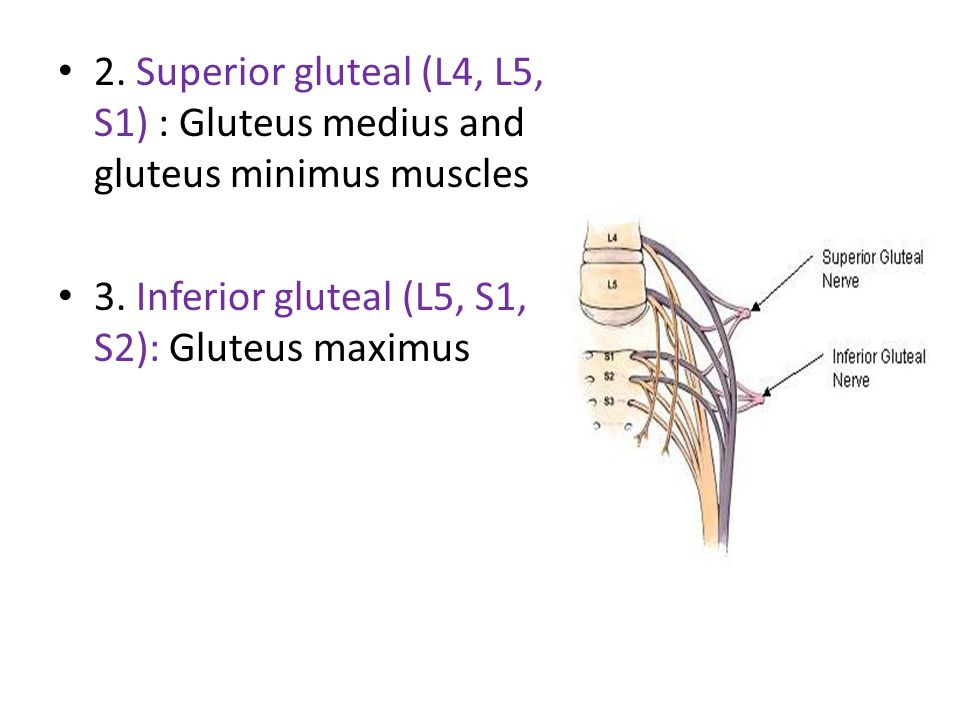 2. Superior gluteal (L4, L5, S1) : Gluteus medius and gluteus minimus muscles