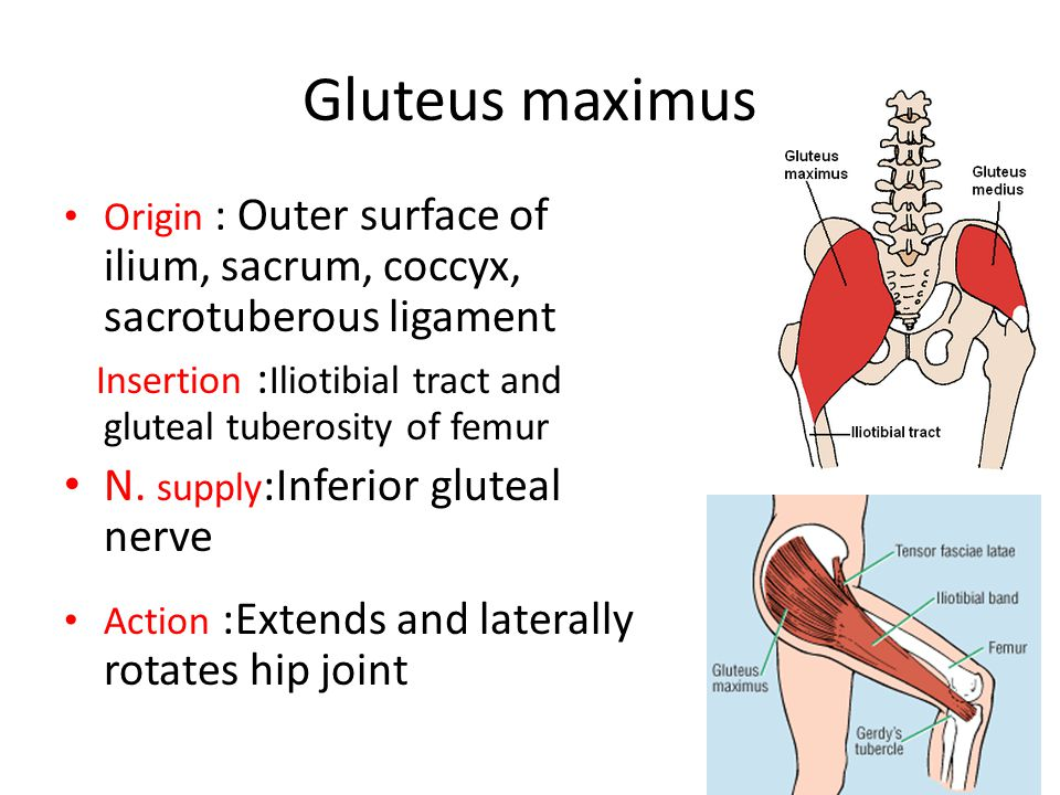 Gluteus maximus Origin : Outer surface of ilium, sacrum, coccyx, sacrotuberous ligament. Insertion :Iliotibial tract and gluteal tuberosity of femur.