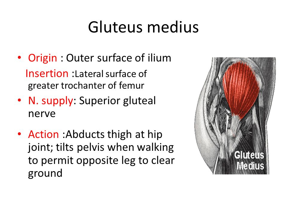 Gluteus medius Origin : Outer surface of ilium