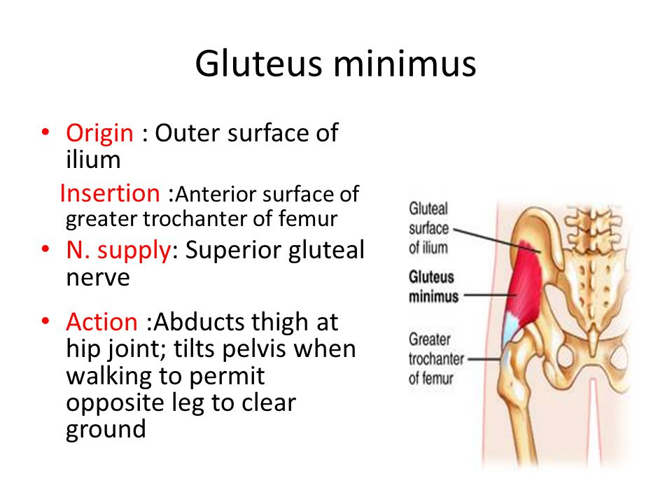 Gluteus minimus Origin : Outer surface of ilium