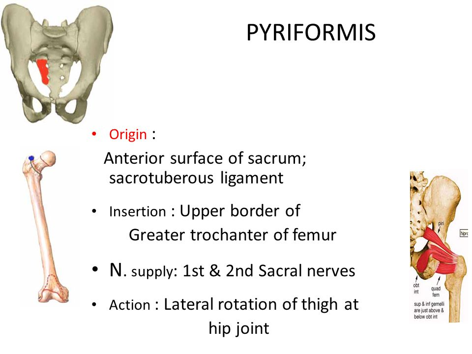 PYRIFORMIS N. supply: 1st & 2nd Sacral nerves