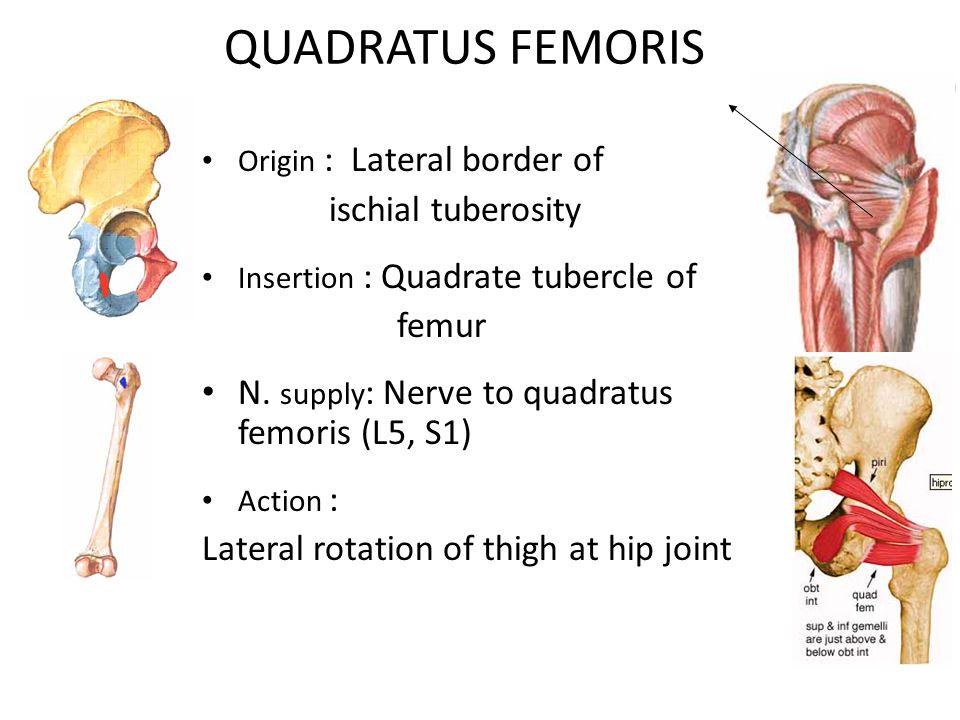 QUADRATUS FEMORIS ischial tuberosity femur