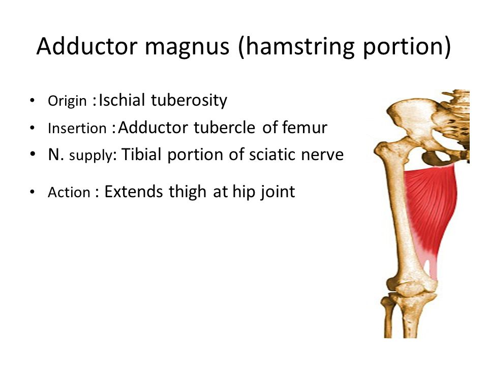 Adductor magnus (hamstring portion)