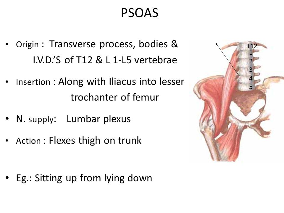 PSOAS I.V.D.'S of T12 & L 1-L5 vertebrae trochanter of femur