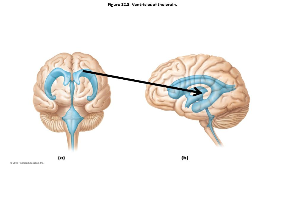 Figure 12.3 Ventricles of the brain.