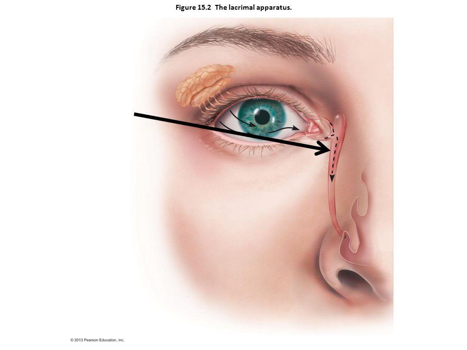 Figure 15.2 The lacrimal apparatus.