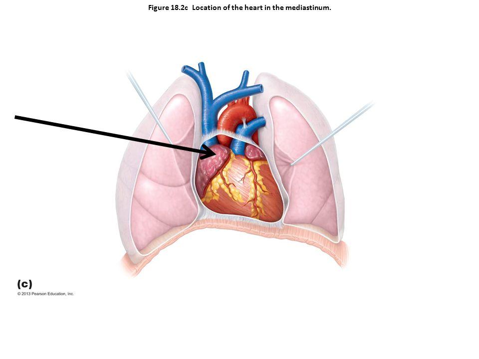 Figure 18.2c Location of the heart in the mediastinum.