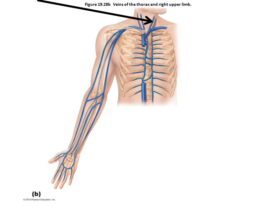 Figure 19.28b Veins of the thorax and right upper limb.