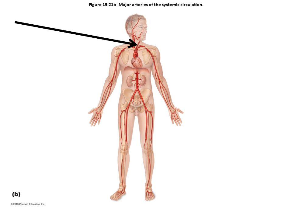 Figure 19.21b Major arteries of the systemic circulation.