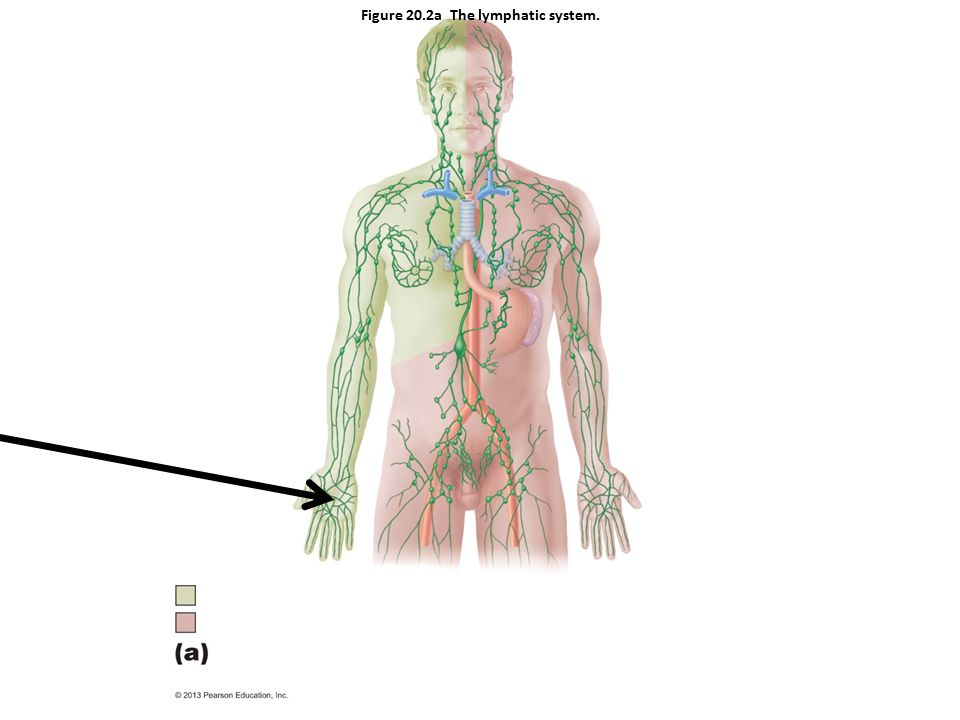 Figure 20.2a The lymphatic system.