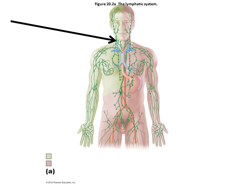 Lymphatic System Anatomy Image collections - human body anatomy