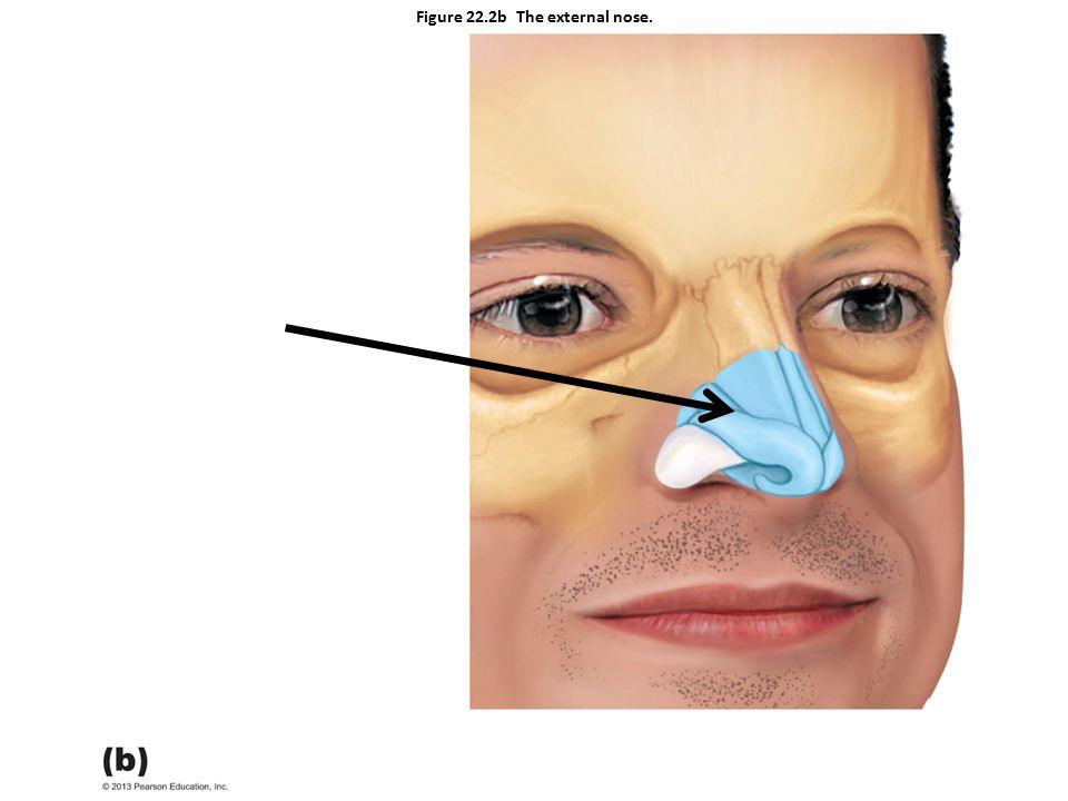 Figure 22.2b The external nose.